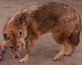 Jackal training - RBTHvideo - 8 (cropped).png