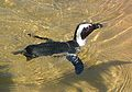 Jackass Penguins, Natureland, Skegness 1.JPG
