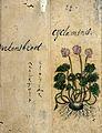 Japanese Herbal, 17th century Wellcome L0030065.jpg