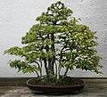 Japanese White Pine (Pinus parviflora) (3505485002).jpg