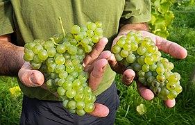 Javier shows part of the grape harvest in his Lysekil vineyard 1 - cropped.jpg