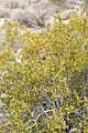 Joshua Tree National Park - Larrea tridentata - 6.JPG