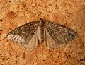 July Highflyer. Hydriomena furcata - Flickr - gailhampshire (3).jpg