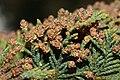 Juniperus maritima 5603.JPG