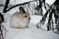 Juvenile Bunny in Winter, Mt Baker Snoqualmie National Forest (23273672529).png