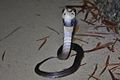 Juvenile Chinese Cobra (Naja atra) 眼鏡蛇4.jpg