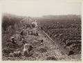 KITLV - 30191 - Kurkdjian, N.V. Photografisch Atelier - Soerabaja - Sugar plantation in East Java - 1921.tif
