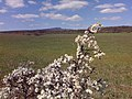 Kab-hegy - virágzás - panoramio.jpg