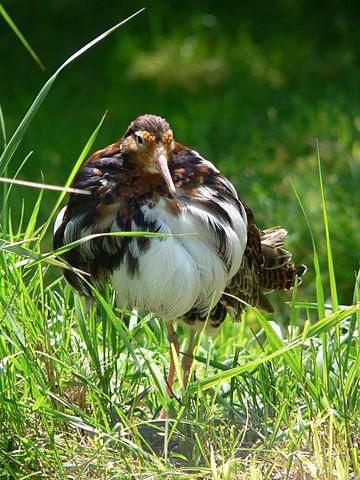 Brushanar i praktdräkt försvarar sina territorier mot andra hanar.