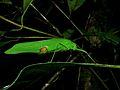 Katydid (Tettigoniidae) (8430128172).jpg