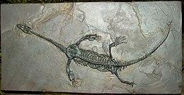 貴州龍化石