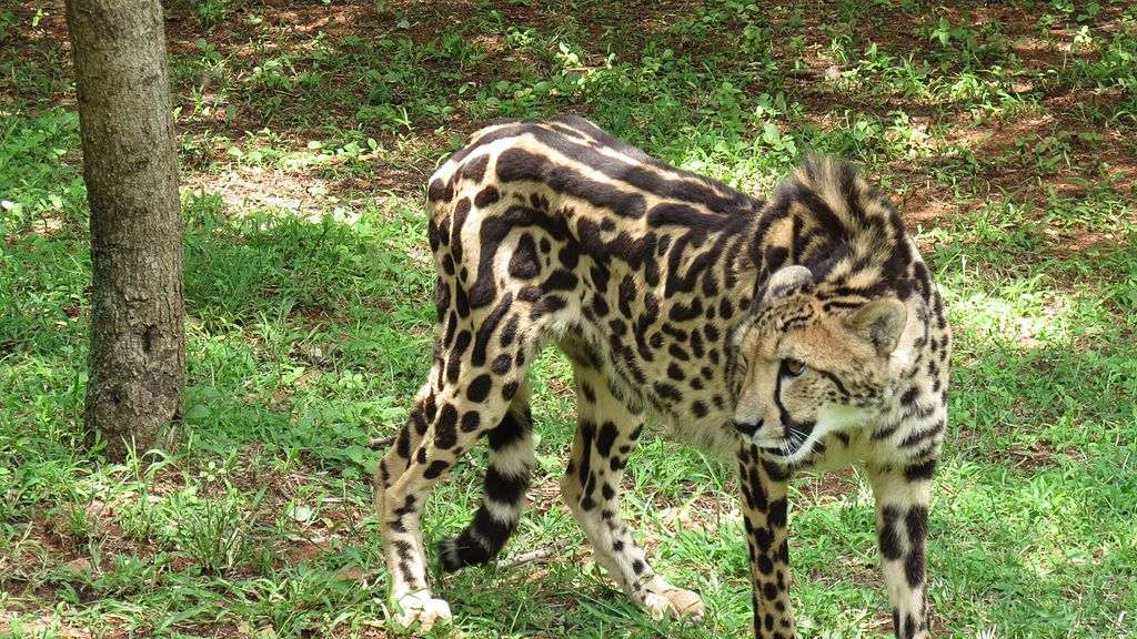 African Cheetah Kid Facts