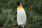 King Penguin amid Tussock Grass (5719535947).jpg