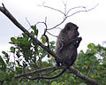 Klias Wetlands Long-tailed Macaque 02.jpg