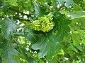 Knopper gall on oak - geograph.org.uk - 1445005.jpg