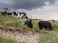 Koeien in de Kobbeduinen op Schiermonnikoog 2.jpg