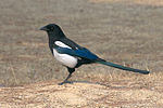 Korean magpie in Daejeon (side profile).jpg