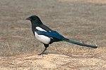 Korean magpie in Daejeon (side profile).jpg