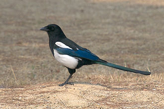 Oriental magpie - Adult in Daejon (South Korea)
