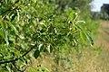 Korina 2016-07-21 Prunus serotina.jpg