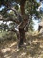 Korkeichen (Quercus suber) im Naturpark Los Alcornocales 1.JPG
