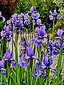 Kosaciec syberyjski.Iris sibirica L.jpg