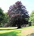 Krapperup castle, in the park, blood beech.JPG