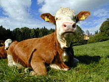 vacca bavarese