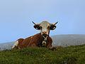 Kuh auf der Hohen Veitsch.jpg