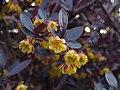 Kwiat berberysu 01.jpg