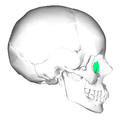 Lacrimal bone - lateral view.png