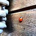 Ladybird Zevenstippelig lieveheersbeestje (Coccinella septempunctata) JIHI 019.jpg
