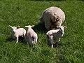 Lambs at Week - geograph.org.uk - 429164.jpg