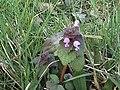 Lamium purpureum (1).jpg