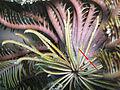 Lamprometra palmata, cirri.jpeg