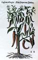 Lanck Peper van Indien 677 Dodoens 1554.png