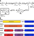 LanthipeptideBiosynthesis.pdf