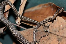 Large-spotted Cat Snake (Boiga multomaculata) 繁花林蛇10.jpg