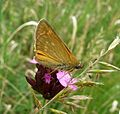 Large Skipper - Flickr - gailhampshire (1).jpg