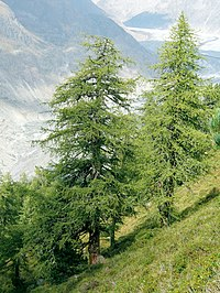 Larix decidua Aletschwald.jpg