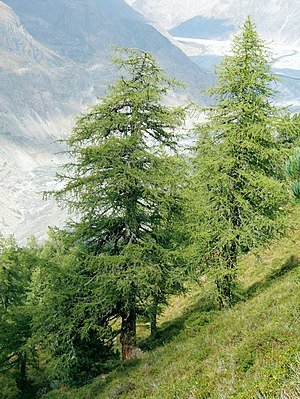 Tree - European larch (Larix decidua), a coniferous tree which is also deciduous