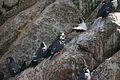 Larosterna inca, Islas Ballestas 0.jpg