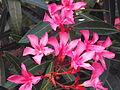 Laurel de jardín rosado.JPG