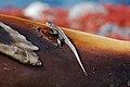 Lava lizard on a shark bite (4202540482).jpg