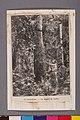 Le Caoutchouc - La Saignée de Parbre - 1, Acervo do Museu Paulista da USP.jpg