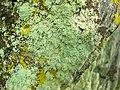 Lecanora anakeestiicola 237745.jpg