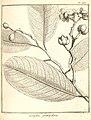Lecythis grandiflora Aublet 283.jpg