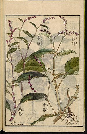 Leiden University Library - Seikei Zusetsu vol. 25, page 010 - 大毛蓼 - Persicaria orientalis (L.) Spach, 1804.jpg