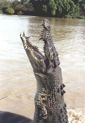 Adelaide River - Image: Leistenkrokodil