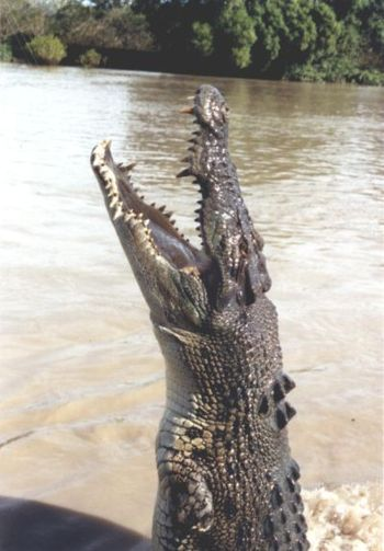 Saltwater crocodile jumping up at Adelaide River